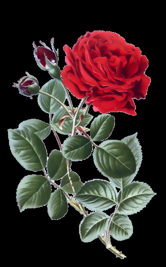 red-rose-vintage-clipart